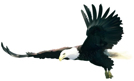 eagle flying: Flying Bald Eagle - colored illustration, vector