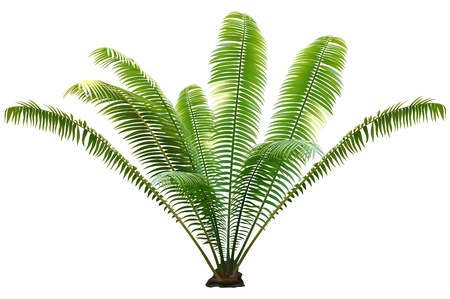 palm tree isolated: Palm Tree - Colored and Detailed Illustration, vector