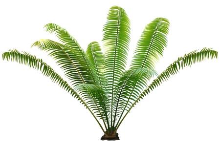 leafs: Palm Tree - Illustrazione colorata e dettagliata, vettore