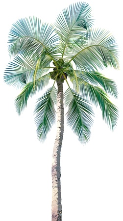 palm branch: Palm Tree - Colored and Detailed Illustration, vector