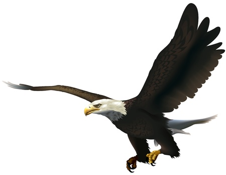 flying eagle: Bald Eagle - Colored Illustration