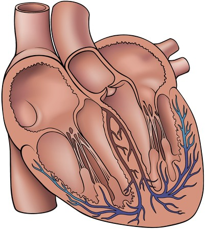 detail of heart muscle: Human Heart - Colored Illustration