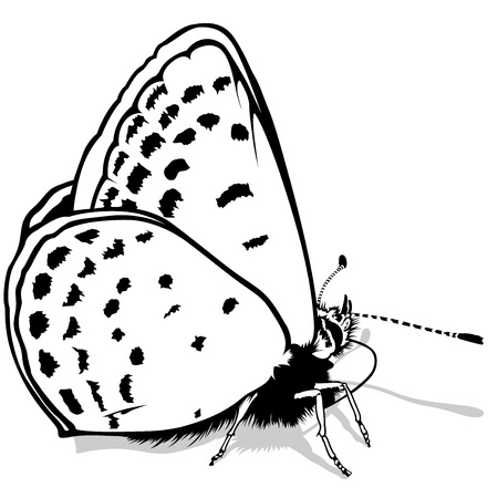 black butterfly: Butterfly - Detailed Illustration, Outlined Vector