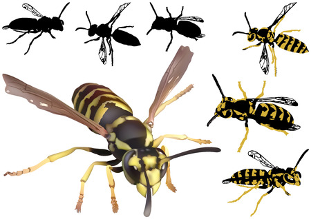 stinging: Common Wasp Set - Colored Illustration, Vector