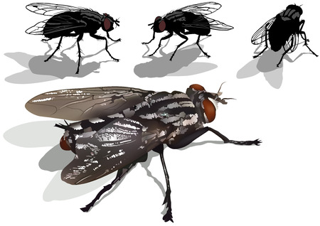 carrion: Blow fly Set - Colored Illustration, Vector