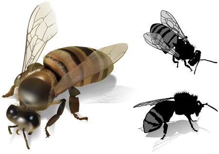 pollinator: Honeybee  Apis melifea Colored Illustration Vector