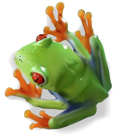 redeyed tree frog: Redeyed Tree Frog Agalychnis callidryas  Colored Illustration Vector Illustration