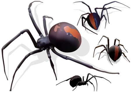 widow: Black Widow Spider Latrodectus hasselti  Illustration Vector