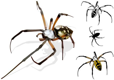 arachnophobia: Wasp Spider Argiope  Detailed Illustration Vector