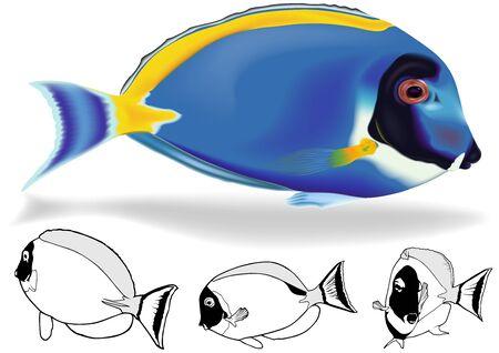 Powder Blue Tang Acanthurus leucosternon  Illustration Set Vector Vector