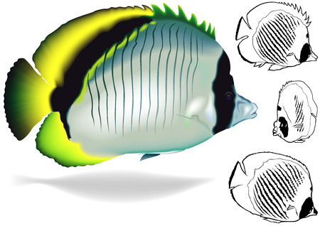 butterflyfish: Lined Butterflyfish Chaetodon lineolatus  Illustration Set Vector