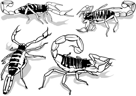 arthropods: Desert Hairy Scorpion Hadrurus Arizonensis  Outlined Illustration Vector