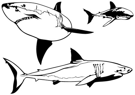 carcharodon: Great White Shark Carcharodon carcharias Set  Illustrations Vector