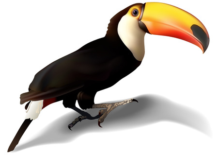 Toucan Ramphastos toco  Detailed Illustration Vector Illustration
