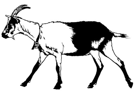 goat horns: Goat from Profile View Capra aegagrus hircus - Black and White Drawing Illustration, Vector Illustration