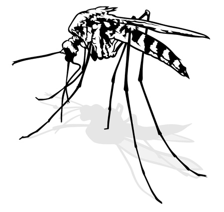 stinging: Mosquito - Black and White Outlined Illustration, Vector Illustration