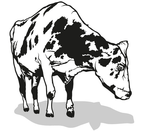 milk cow: Spotted Milk Cow - Black and White Illustration, Vector Illustration