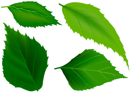 veining: Green Leaves as Design Elements - Colored Illustration, Vector Illustration
