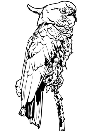parakeet: Cockatoo - Black and White Outline Illustration, Vector