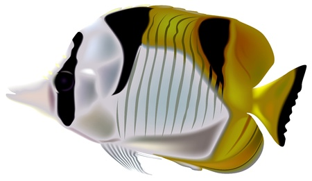 Falcula Butterflyfish (Chaetodon falcula) - Colored Illustration, Vector