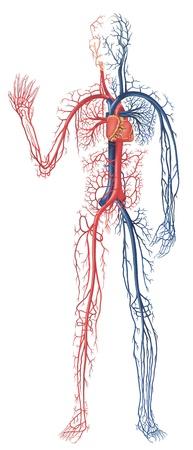 Circolazione del sangue - vene blu e bianche e il cuore di un'illustrazione del corpo umano, vettore