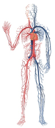 Circulation of Blood - Blue and White Veins and the Heart of a Human Body Illustration, Vector