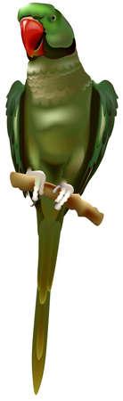 Alexandrine Parrot (Psittacula Eupatria) Sitting on Branch - Colored Illustration, Vector