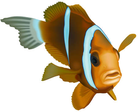 Barrier Reef Anemonefish (Amphiprion akindynos) - Colored Illustration, Vector 矢量图像