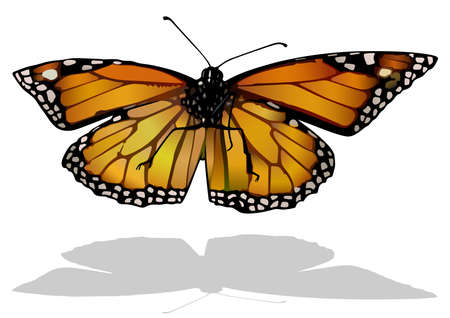 Monarch Butterfly - Isolated Colored Illustration with Shadow on White Background, Vector 免版税图像 - 155079031
