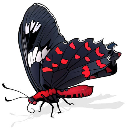 Pink Rose - Beautiful Black-red Butterfly Isolated on White Background, Vector Illustration