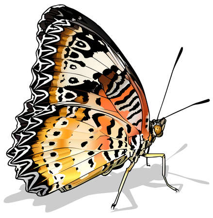Leopard Lacewing - Beautiful Butterfly Isolated on White Background, Vector Illustration