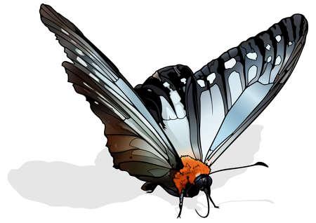 Calinaga Buddha - Beautiful the Freak Butterfly Isolated on White Background, Vector Illustration