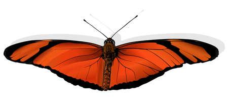 Julia - Beautiful Butterfly Dryas iulia Isolated on White Background, Vector Illustration