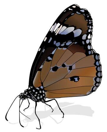Plain Tiger - Beautiful Butterfly Danaus chrysippus Isolated on White Background, Vector Illustration 矢量图像