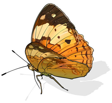 Rustic - Beautiful Butterfly Cupha erymanthis Isolated on White Background, Vector Illustration