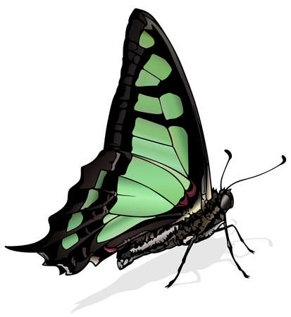 Glassy Bluebottle - Beautiful Butterfly Graphium cloanthus Isolated on White Background, Vector Illustration 矢量图像