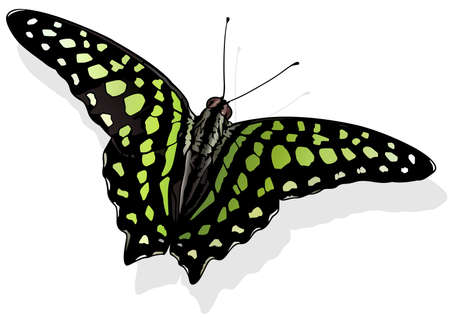 Tailed Jay - Beautiful Butterfly Graphium agamemnon Isolated on White Background, Vector Illustration