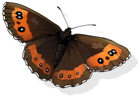 Arran Brown - Beautiful Butterfly Erebia ligea Isolated on White Background, Vector Illustration
