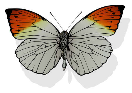 Great Orange Tip - Beautiful Butterfly Hebomoia glaucippe Isolated on White Background, Vector Illustration