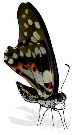 Common Jay - Beautiful Butterfly Graphium doson Isolated on White Background, Vector Illustration