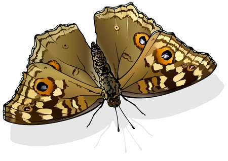 Lemon Pansy - Beautiful Butterfly Junonia lemonias Isolated on White Background, Vector Illustration 矢量图像