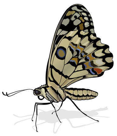 Lime - Beautiful Butterfly Papilio demoleus Isolated on White Background, Vector Illustration 矢量图像