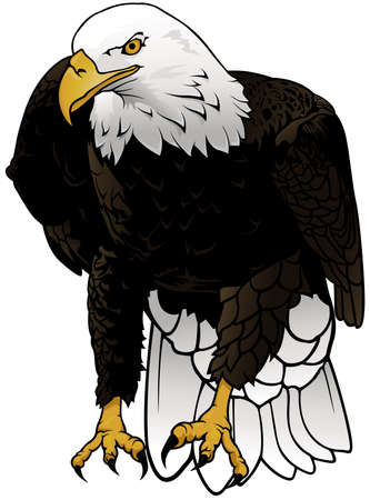 Wild Bald Eagle as Colored Hand Drawn Illustration Isolated on White Background, Vector Graphic