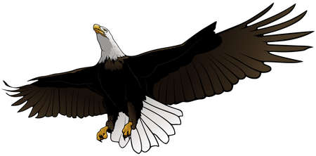 Flying Bald Eagle as Colored Hand Drawn Illustration Isolated on White Background, Vector Graphic