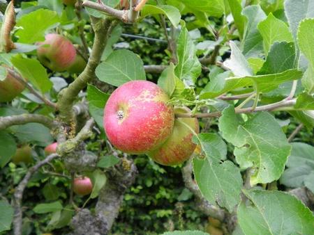 crab apple tree: English Crab Apple Tree Stock Photo