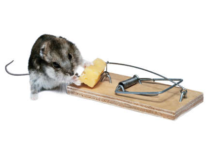 baby mouse in a mousetrap  photo