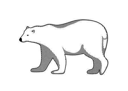 polar bear: polar bear on a white background Illustration