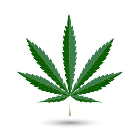 cannabis leaf: sheet of hemp is isolated on a white background