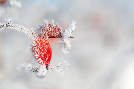 onset: Rosehip with ice crystals on a cold winter