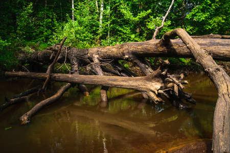 Old oak tree blown down in a little river. Stock Photo